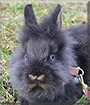 Eliška the Lionhead Rabbit