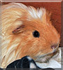 Thor the Coronet Guinea Pig