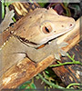 Mandarin the Crested Gecko