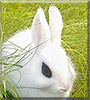P2 the Dwarf Hotot Rabbit