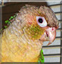 Melody the Green Cheek Conure