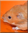 Coffee the Hamster
