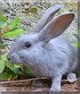 Bluebell the Blue Beveren Rabbit