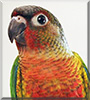 Turtle the Yellow Sided Conure