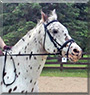 Chester the Appaloosa Horse