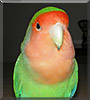 Junior the Lovebird