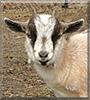 Jakki the Pygmy Goat