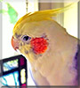 Buddy the Pied Dirtyface Cockatiel