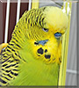 Norbert Thomas the English Budgie