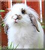 Lugs the Lop, Lionhead Rabbit
