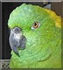 Ginger the Yellow Nape Amazon Parrot