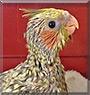 Zoey the Pearl Cockatiel