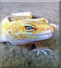 Feli the Leopard Gecko