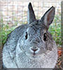 Prince the Chinchilla Netherland Dwarf