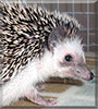Fitz the African Pygmy Hedgehog