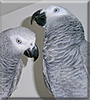 Biggie, Little the Congo African Grey parrots