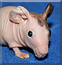 Pipsqueak the Hairless Guinea Pig