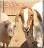 Lacy, Lucky the Lamancha Goat, Nubian; Boer Goat