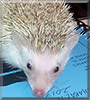 Willow the Pinto Hedgehog