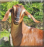 Willow the Nubian goat