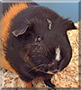 Bluebell the Black American Tan Guinea Pig