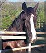 Klaatu the Clydesdale Cross Horse