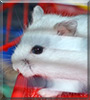 Krümmelchen the Dwarf Hamster