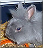 Wuschel the Lionhead mix Rabbit
