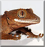Loki the Crested gecko