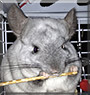 Luna the Chinchilla