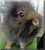 Lille the Lionhead Rabbit