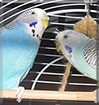 Tommy, Lucky the Budgies