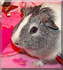 Juarez the Shorthair Guinea Pig