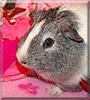 Juarez the Shorthair Guinea Pig