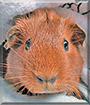 Jazzy the Guinea Pig