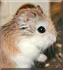 Robert the Dwarf Hamster