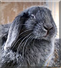 Blue Bell the Mini Lop Rabbit