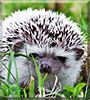Drogo the African Pygmy Hedgehog