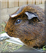 Possum the Crested Golden Agouti Guinea pig