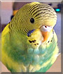 Daisy Bee the American Budgie