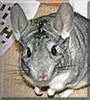 Kurt the Chinchilla