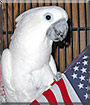 Bella the Umbrella Cockatoo