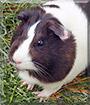 Csillag the Guinea Pig