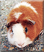 Loki the Guinea Pig