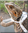 Spike the Bearded Dragon