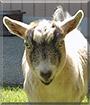 Freddy the Pygmy Goat