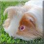 Charlie the Guinea Pig