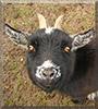 Molly the Pygmy Goat