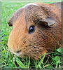 Ginger the Guinea Pig