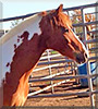 Gidget the Pinto Pony